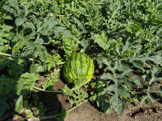 die Melonen sind leider sehr unregelmäßig im Sortiment
