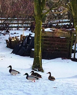 Enten suchen nach Eicheln im Garten