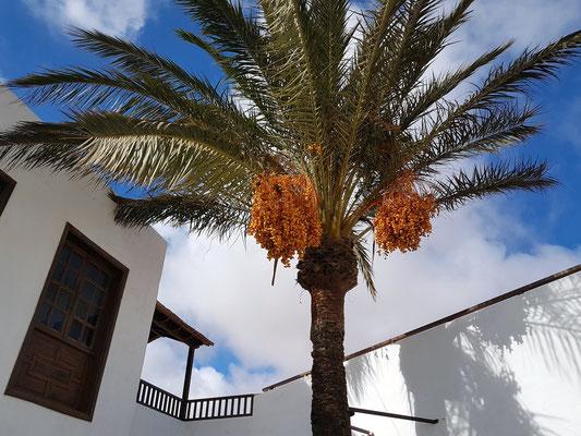 Antigua, Kanarische Dattelpalme im Museo del Queso Majorero