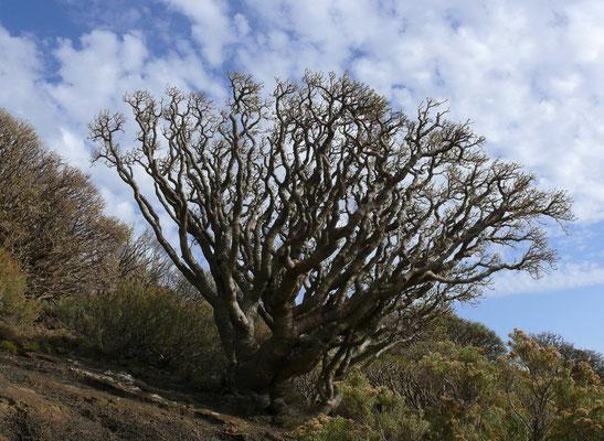 Zwei Meter hohe Euphorbiensträucher (Euphorbia balsamifera) oberhalb des Leuchtturms von Orchilla