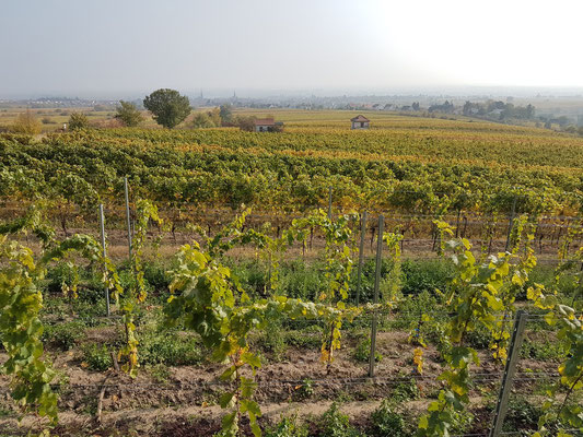 Weinfelder bei Edenkoben