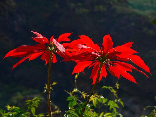 Puerto de la Cruz, Jardín Botánico, Weihnachtsstern