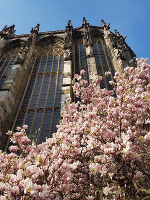 Magnolienblüte am Ostchor des Aachener Doms