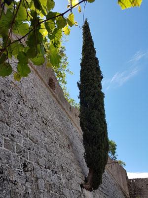 Eine Zypresse wächst aus der Mauer der Festung.