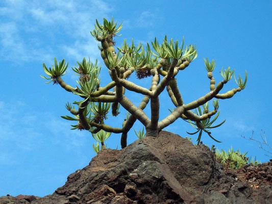 Endemische Tabaiba (Wolfsmilchpflanze)