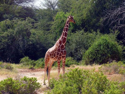 Netzgiraffe, die bekannteste der insgesamt neun Unterarten der Giraffe
