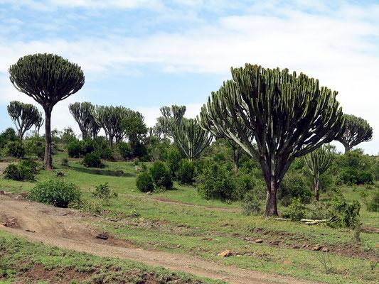 Kandelaber-Euphorbien