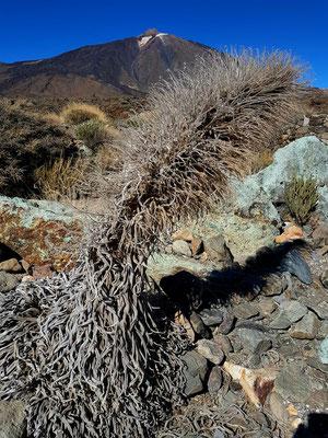 Skelett einer Taginaste, endemische Pflanze in den Cañadas