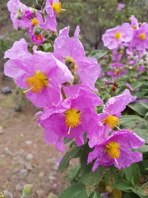 Beinwellblättrige Zistrose  (Cistus symphytifolius)