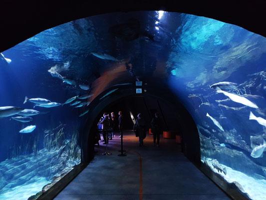 """Im Aquarium """"Helgoland"""", einem als Tunnel ausgeführten Becken, schwimmen zwischen den charakteristischen roten Felsen Pollacks, Katzenhaie und Lippfische."""