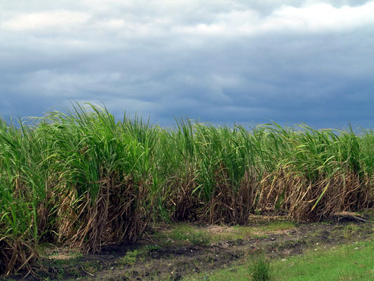 Zuckerrohrfelder östlich von Camagüey