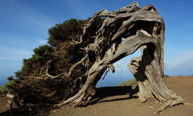 Die von Windschur gezeichneten uralten Bäume (Juniperus phoenicea) sind Wahrzeichen der Insel Hierro und stehen unter Naturschutz.