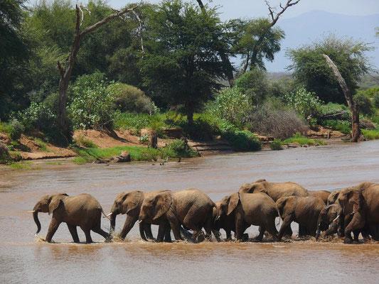 Und dann gibt es kein Halten mehr, die Elefantenherde setzt sich in Bewegung.