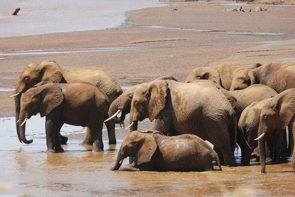 Eine Elefantenherde wartet auf das Zeichen des Leittieres zum Queren des Uaso Nyiro Flusses.