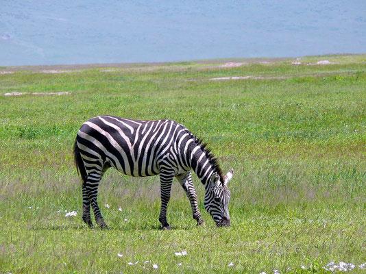 10:44 .... Das Zebra hat die Löwin noch nicht entdeckt, der Wind steht für die Witterung ungünstig....