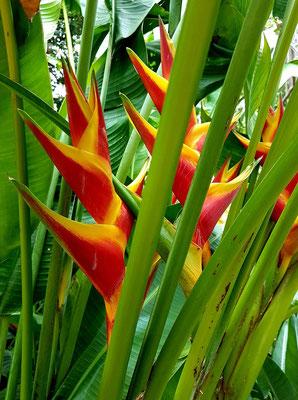 Helikonie (Heliconia bihai)