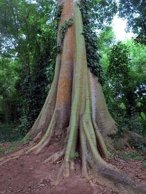 Brettwurzeln sind bis zu zehn Meter hohe, sternförmig angeordnete Wurzeln. Sie verleihen den hohen Bäumen (Baumriesen) im tropischen Regenwald besondere Standfestigkeit.