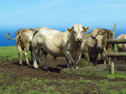 Zuchtstier und Kühe