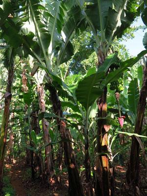 Wanderung durch die Bananenfelder