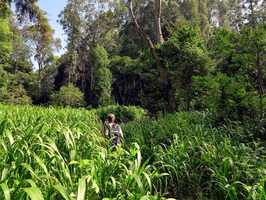 Wanderung durch Zuckerrohrfelder
