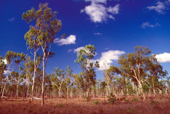 AUS Queensland, lichter Eukalyptuswald