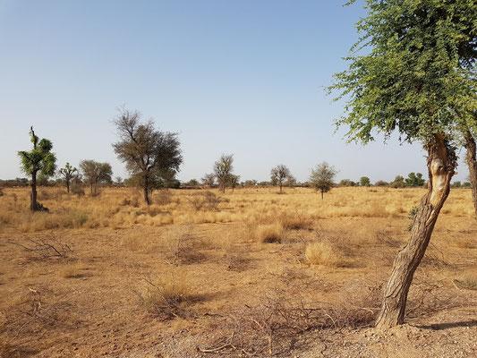 Wüste Thar, hier eine Grassteppe