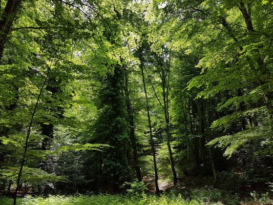 Buchenwälder im Foresta Umbra. Die uralten Buchen absorbieren seit Jahrhunderten das Kohlendioxid und dienen damit im Kampf gegen den Klimawandel.