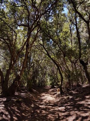 Aufstieg auf dem Camino de Candelaria durch Laurisilva