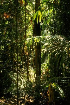 AUS Tropischer Regenwald bei Kuranda