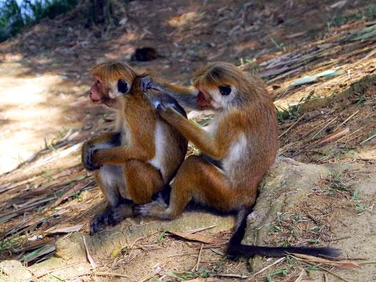 Sich lausende Affen im Botanischen Garten