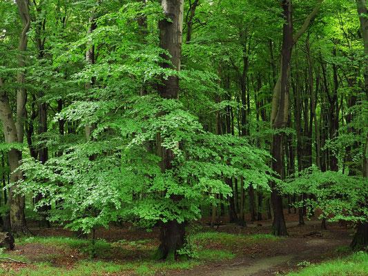 Buchenwald im Nationalpark Jasmund nahe der Viktoriasicht, UNESCO-Weltnaturerbe