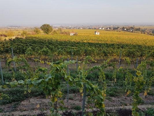 Spätnachmittag in den Weinfeldern bei St. Martin