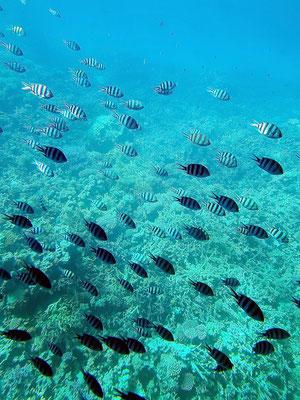 Fischschwärme über den Korallenbänken