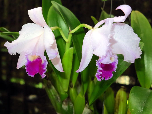 Orchidee in Soroa