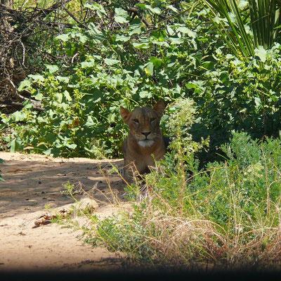 Unter den wachsamen Blicken der Löwin müssen wir das Fahrzeug wechseln.