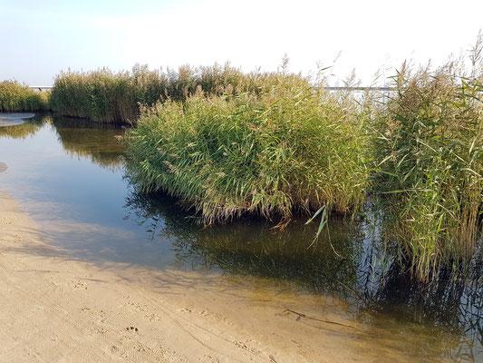 Seegras und Sand an der Mündung der Świna