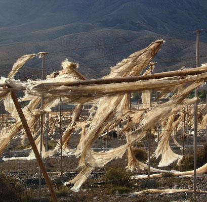 Vom Wind zerrissene Plantagenanlage bei Cardón