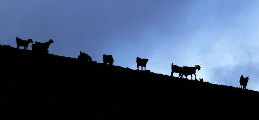 Landschaft mit Ziegen westlich von Llanos de la Concepción
