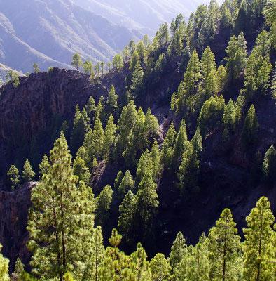 Kiefernzone auf Gran Canaria (Bergstraße von Artenara nach Aldea de San Nicolás)