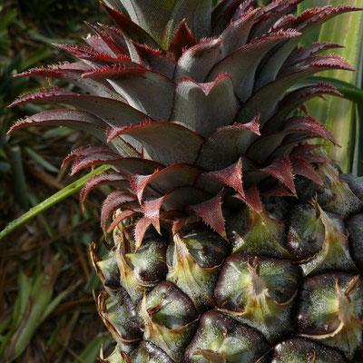 Landwirtschaft im Tal von El Golfo, Ananasplantagen