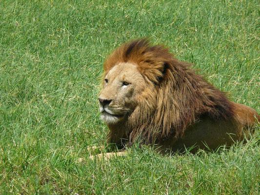 Und dann endlich: der König der Tiere, ein männlicher Löwe