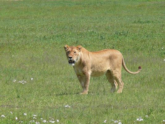 10:51 .... Die Löwin bleibt verdutzt stehen, verharrt 5 Minuten unschlüssig an der Stelle, schaut dabei in alle Richtungen ....