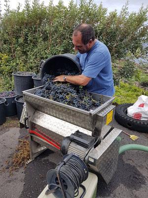 Verarbeitung der Weintrauben