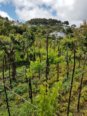 Weingärten in der Umgebung der Villa Lysis