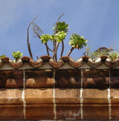 Teror, Dachwurz, ein typisch endemisches Gewächs