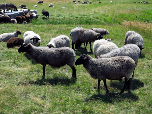 Schafe am östlichen Deich