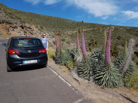 Wildprets Natterkopf an der Straße zum Roque de los Muchachos, Blütezeit