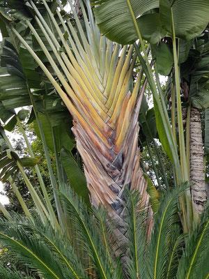Ravenala madagascariensis (J.F. Gmel.), Strelitziaceae, Arbol del Viajero, Madagascar