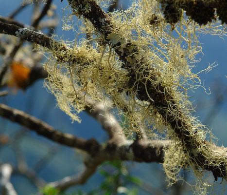 In den Lorbeerwäldern von El Cedro, Bartflechten