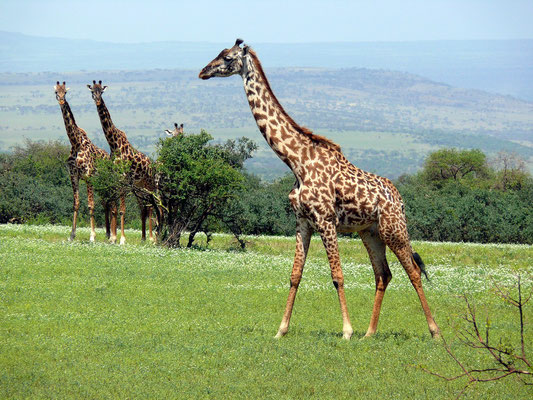 Giraffen in der Serengeti